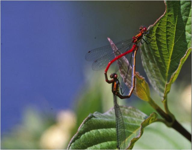 Mating Dragonflies - from stockvault netFreyja Rune